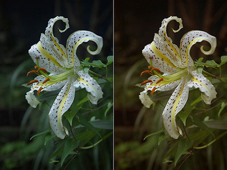Lily flower white balance natural vs warmer